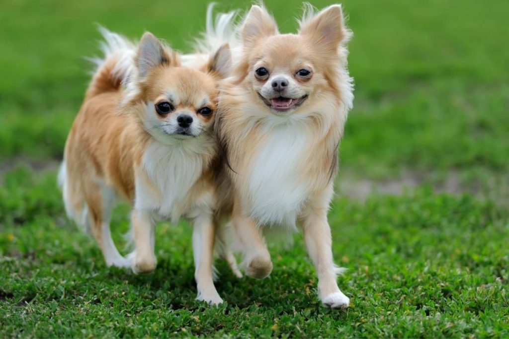 two chihuahuas running in the grass