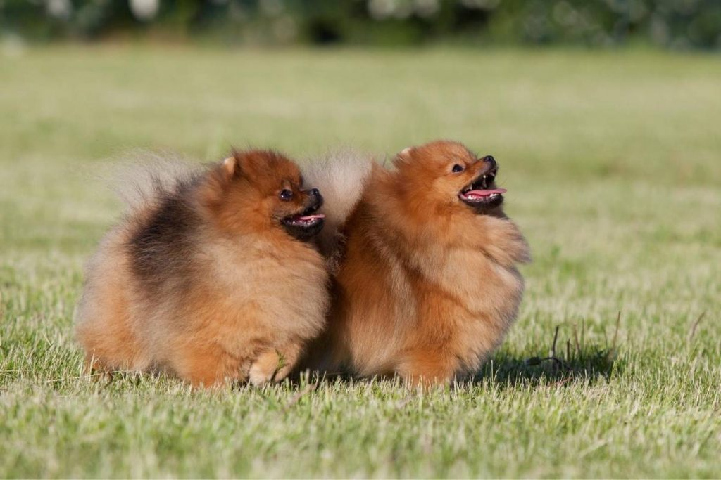 two red pomeranians standing in grass