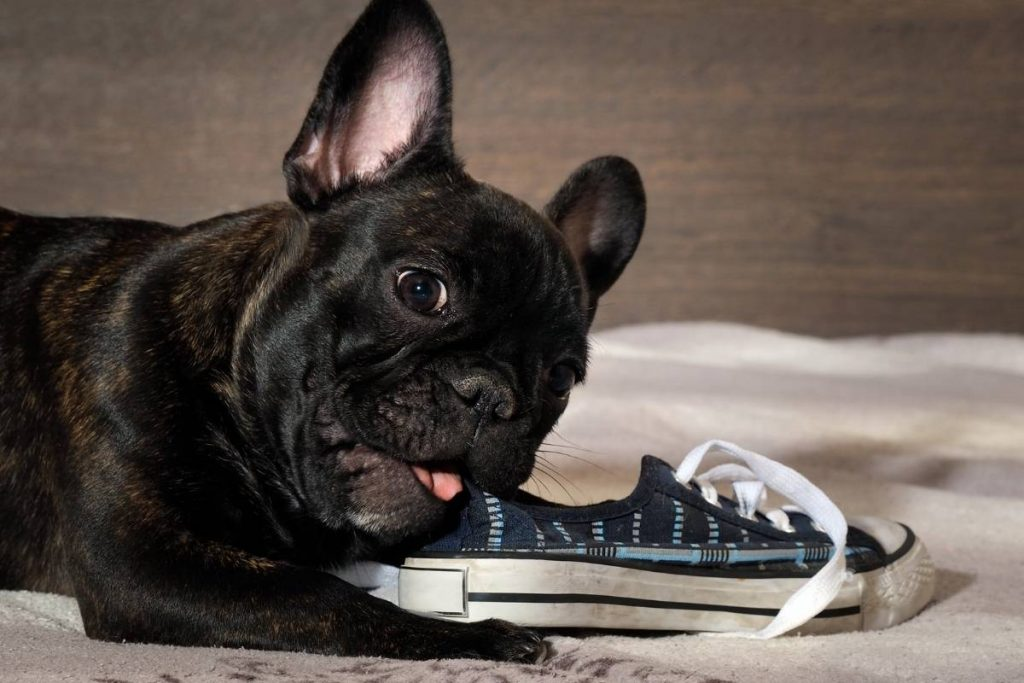 French Bulldog puppy getting in trouble by chewing on a shoe.