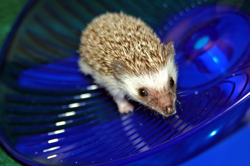 baby hedgehog on a blue disc exercise wheel