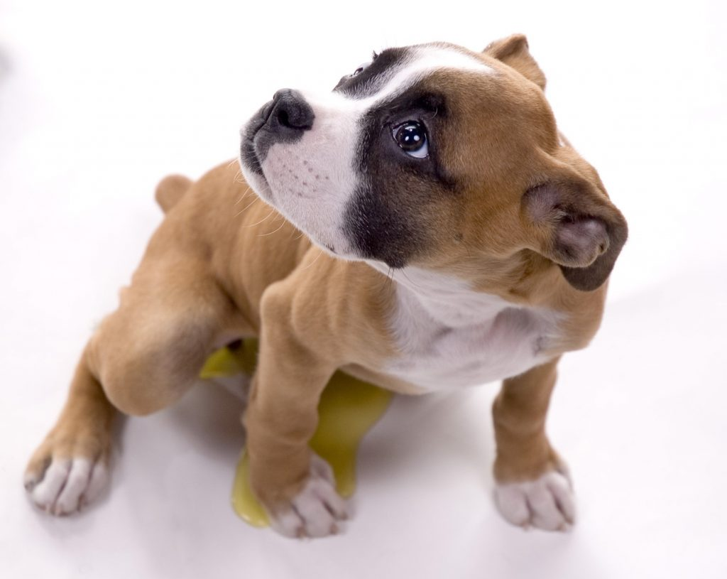 Boxer puppy peeing on the floor.