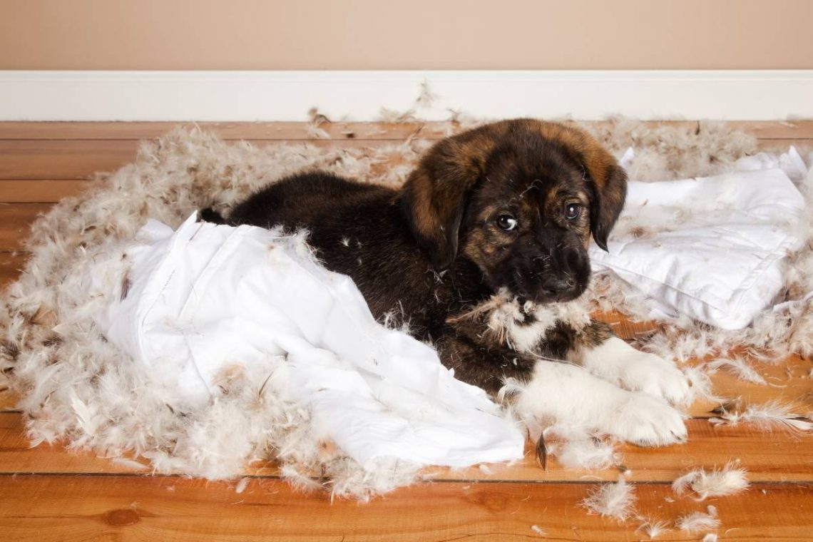 A little brown puppy that just destroyed a pillow.