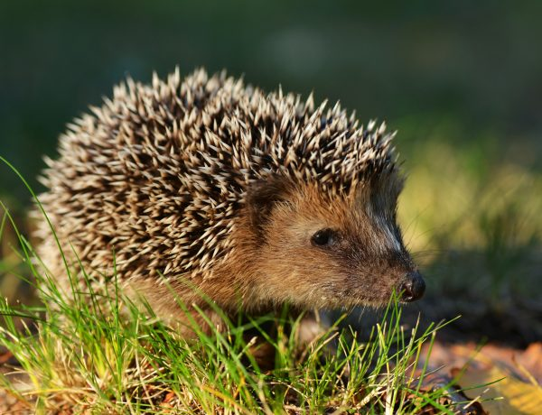 An Alert Hedgehog closeup