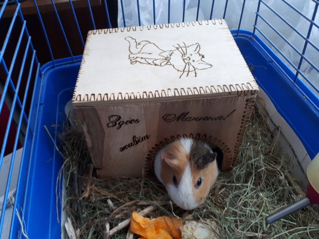 a pet guinea pig in a cage that is too small for him