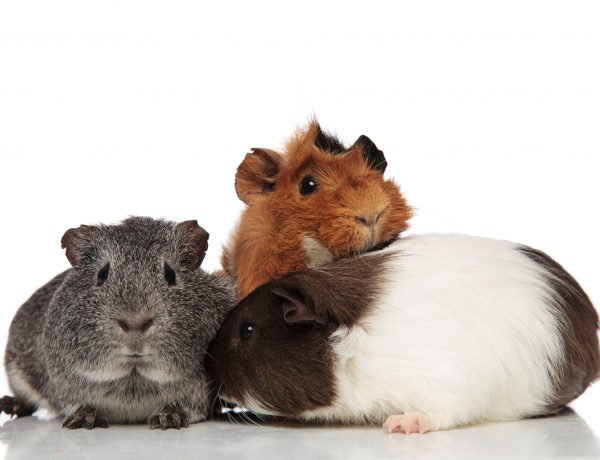 three different colored guinea pigs on a white background