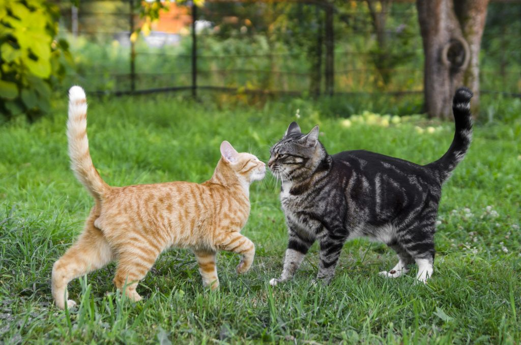 Two cats being introduced to each other outside for the first time.